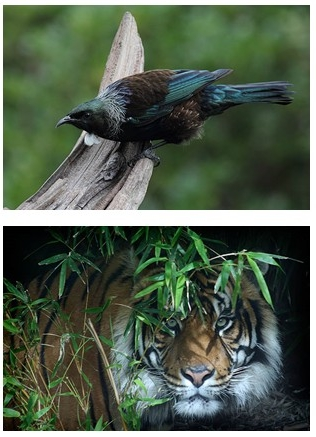 A tui and a tiger, both captured by Toya Heatley's lens.