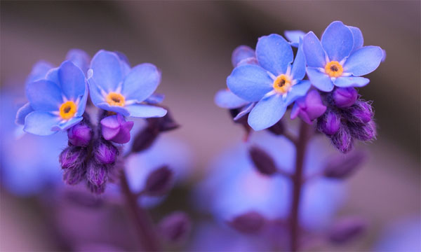 Forget-me-nots by William Warby, reused via Crative Commons. Thanks!
